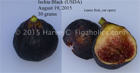 Ischia Black Fig Tree - USDA Davis origin