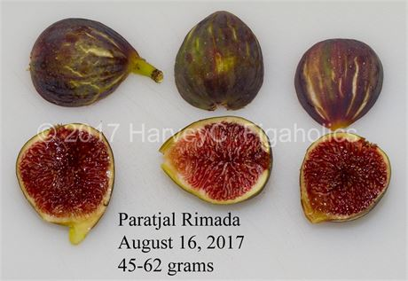 Paratjal Rimada fig tree (Grafted) - rare Spanish fig