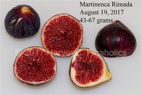 Martinenca Rimada Tree (Grafted) - Excellent Spanish Variety