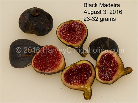 Black Madeira tree (GRAFTED) - top Portuguese variety
