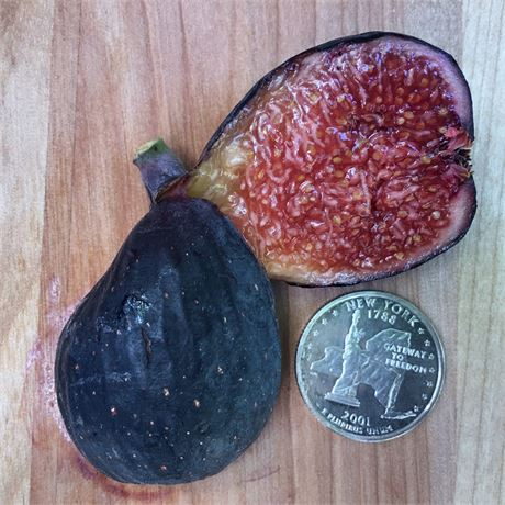 Live Cold Hardy Nero 600M Fig Tree Small Black Delicious Figs Red Pulp Sweet