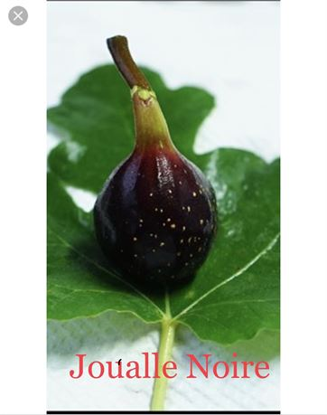 "Joualle Noir "" Top Black Fig"""