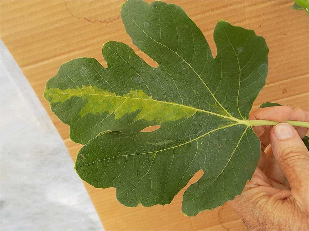 Figbid Online Auctions Of Fig Trees Fig Cuttings
