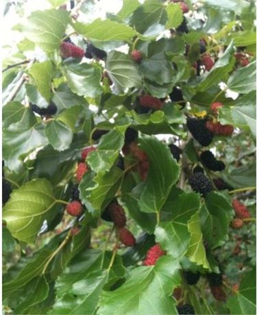 MAUI MULBERRY TREE -USDA CERTIFIED ORGANIC -POTTED