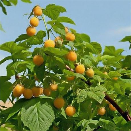 Fall Gold Raspberry - Striking pale yellow fruit - Excellent northeast grower!